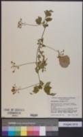 Image of Cardiospermum tortuosum