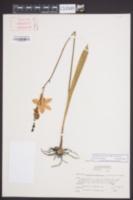 Calopogon pulchellus image