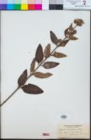 Image of Hyptis brachiata