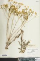 Isatis tinctoria image