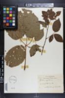 Rubus nigrobaccus image