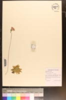 Pinguicula caerulea image