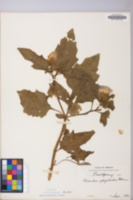 Nicandra physaloides image