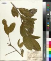 Nectandra salicifolia image