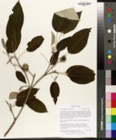 Image of Croton megalocarpus