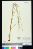Elionurus tripsacoides image