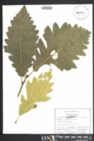 Quercus × schuettei image