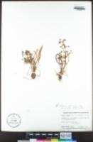 Alisma gramineum image