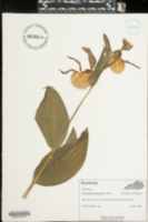 Image of Cypripedium kentuckiense
