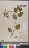 Image of Eurybia mirabilis
