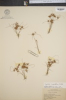 Image of Cyperus cuspidatus