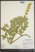 Thermopsis californica image