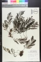 Bolbitis heudelotii image