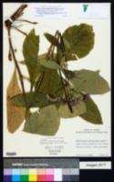 Image of Vernonia autumnalis