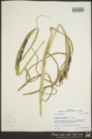 Echinochloa crus-galli image