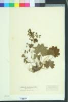 Alchemilla monticola image