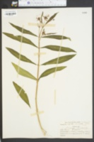 Asclepias pulchra image