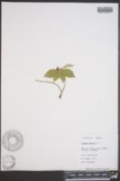 Cornus suecica image