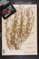 Lepidium schinzii image