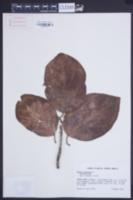 Cordia sebestena image