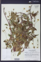 Acmella oppositifolia image