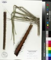 Image of Butia capitata