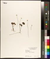 Image of Viola hederacea
