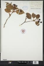 Viburnum lentago image