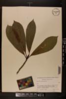 Image of Magnolia tamaulipana