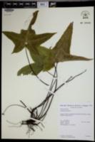 Asplenium hemionitis image