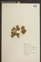 Image of Fragaria canadensis