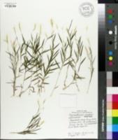 Image of Pogonatherum crinitum