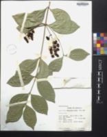 Image of Bunchosia nitida