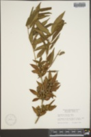 Fontanesia fortunei image