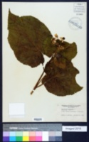 Image of Sparmannia africana