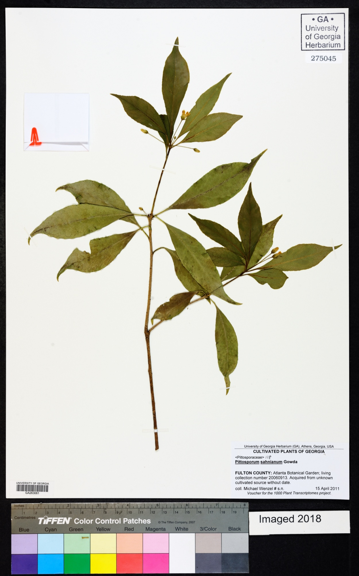 Pittosporum illicioides image