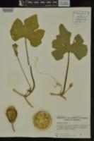 Image of Cucurbita sororia