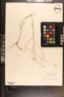 Boltonia diffusa image