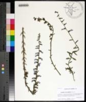 Image of Lobelia brevifolia