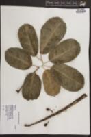 Image of Brassaia actinophylla