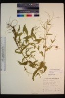 Epilobium oreganum image