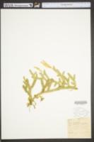 Image of Lycopodium clavatum