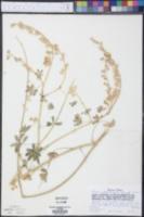 Lupinus arizonicus subsp. arizonicus image
