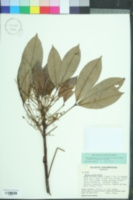 Image of Hevea guianensis