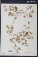 Euphorbia polygonifolia image