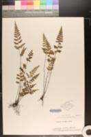 Lindsaea chienii image
