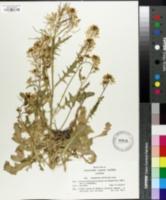 Image of Sisymbrium austriacum