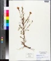 Image of Oenothera subglobosa