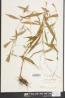 Polygonum punctatum image