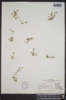 Hydrocotyle sibthorpioides image